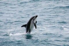 Dauphin sombre leaing hors de l'eau photo stock