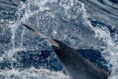 Dauphin tout en sautant en mer bleue profonde Photos libres de droits