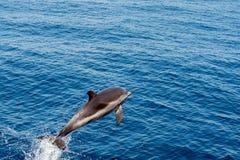 Dauphin tout en sautant en mer bleue profonde Photos stock