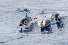 Dauphin tout en sautant en mer bleue profonde Image libre de droits