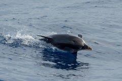 Dauphin tout en sautant en mer bleue profonde Photographie stock libre de droits