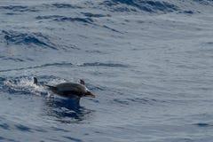Dauphin tout en sautant en mer bleue profonde Images libres de droits
