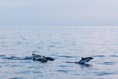 Dauphin tout en sautant en mer bleue profonde au coucher du soleil Photo stock