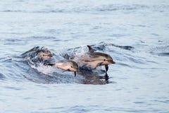 Dauphin tout en sautant en mer bleue profonde au coucher du soleil Image stock