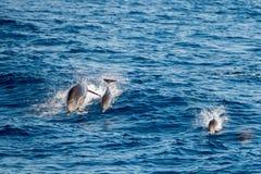 Dauphin tout en sautant en mer bleue profonde Image stock