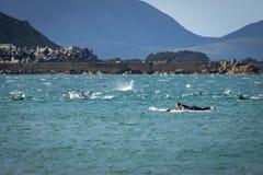 Dauphins à la baie du Nouvelle-Zélande Lyall Images libres de droits