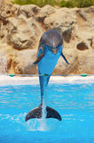 Dauphins Photo stock