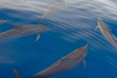 Dauphins Photos stock