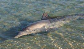 dauphins Photo libre de droits