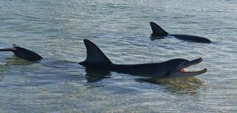 dauphins Photo stock