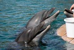dauphins Photographie stock libre de droits