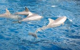 dauphins Image libre de droits