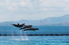 Dauphins acrobatiques faisants de la lévitation de Bouteille-nez photos libres de droits
