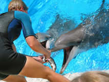 Dauphins alimentants Photo libre de droits