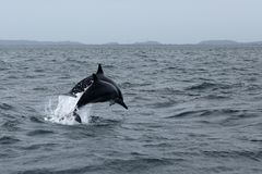 Dauphins chez Trincomalee Sri Lanka dans l'Océan Indien photo stock