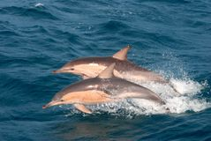 Dauphins communs Images stock