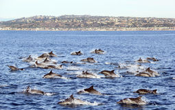 Dauphins communs outre de San Diego Photographie stock