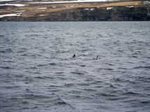 Dauphins dans Husavik Islande Photographie stock