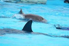 Dauphins dans l'eau bleue Photo libre de droits