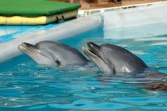 Dauphins dans la piscine Photographie stock libre de droits