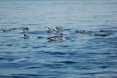 Dauphins dans le compartiment du Gibraltar image libre de droits