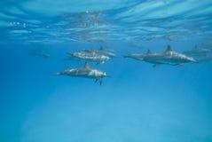 Dauphins de fileur de natation dans le sauvage. Image libre de droits