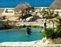 Dauphins de formation dans Cozumel Image stock