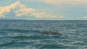 Dauphins en Costa Rica images libres de droits