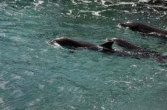 Dauphins en eau de mer des Caraïbes photos stock