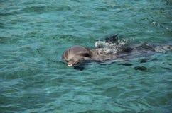 Dauphins en eau de mer des Caraïbes photo stock