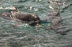 Dauphins en eau de mer des Caraïbes photo libre de droits