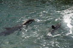 Dauphins en eau de mer des Caraïbes image libre de droits