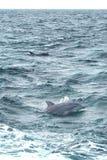 Dauphins en mer images stock