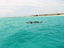 Dauphins en mer des Caraïbes photos libres de droits