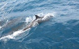 Dauphins nageant chez Fernando de Noronha Photos stock