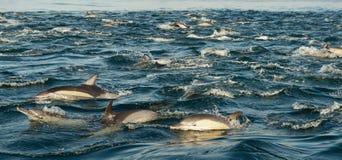 Dauphins, nageant dans l'océan photographie stock