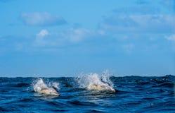 Dauphins, nageant dans l'océan Images libres de droits