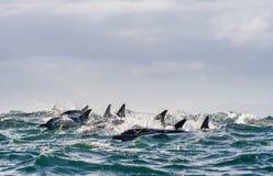 Dauphins, nageant dans l'océan Photo libre de droits