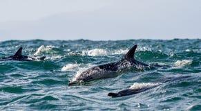 Dauphins, nageant dans l'océan Image stock