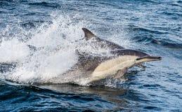 Dauphins, nageant dans l'océan Photo stock