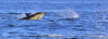 Dauphins, nageant dans l'océan Bain de dauphins et sauter de l'eau Images libres de droits