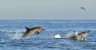 Dauphins, nageant dans l'océan Bain de dauphins et sauter de l'eau Photos libres de droits