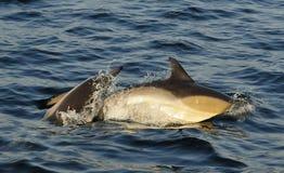 Dauphins, nageant dans l'océan et chassant pour des poissons Image stock