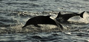Dauphins, nageant dans l'océan et chassant pour des poissons Le jumpin Photographie stock libre de droits