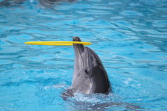 Dauphins nageant dans la piscine et jouant avec le jouet Images libres de droits