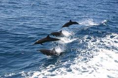 Dauphins ouvrant une brèche la mer Image stock