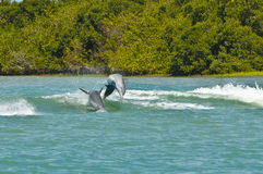 Dauphins Porpoising, la Floride photo libre de droits