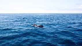 Dauphins près de côte de Ventura, la Californie Images stock