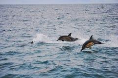 Dauphins sautants dans Kaikoura, Nouvelle-Zélande Photographie stock libre de droits
