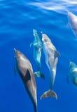 Dauphins sous l'eau Images libres de droits